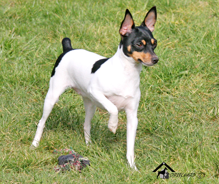 toy fox terrier for sale